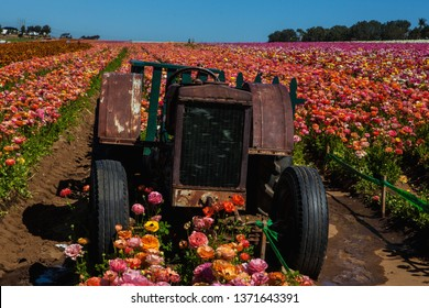 tractor in a field of ranunculus flowers