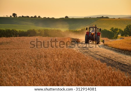 Tractor is going trough agriculture field full of gold wheat
