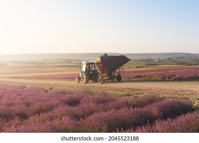 Tractor harvesting field of lavender.