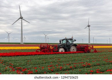 Tractor harvesting tulips on the field. Farmer with mechanical device is cutting blossoms of tulip flowers in the Netherlands
