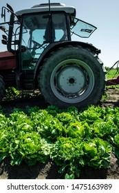 Tractor in lettuce iceberg farm. Harvest Lettuce iceberg on the field.
