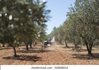 Tractor and olive trees. Plowing the land
