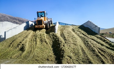 A tractor on a  filled silage clamp at a dairy farm, compacting the freshly chopped maize with a silage compactor, fermented the stored maize will be used as cow feed in winter