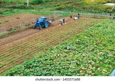 tractor and people in the field, potato harvest, August 25, 2018