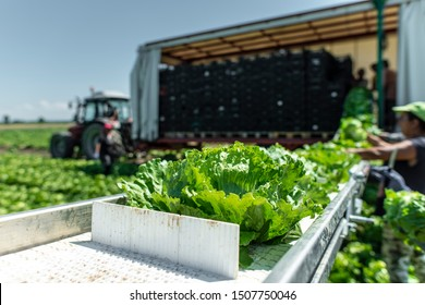 Tractor with production line for harvest lettuce automatically. Lettuce iceberg picking machine on the field in farm. Concept for automatization in the agriculture.