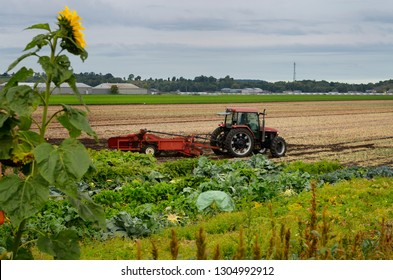 Tractor pulling harvester to pull out mature onions by a vegetable patch at a Holland Marsh farm, Ontario, Canada - September 17, 2011