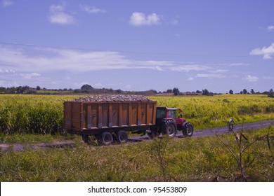 A tractor takes sugar cane away to be processed in Guadeloupe.