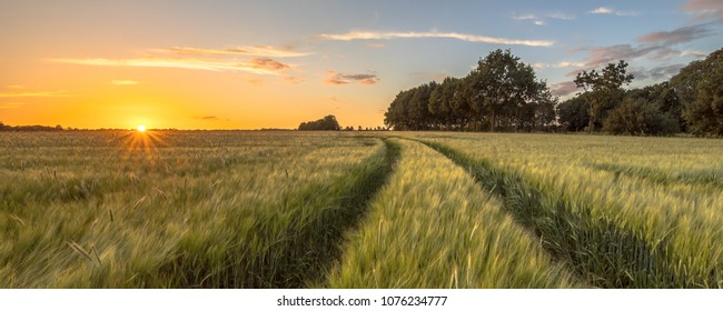 Tractor Track through Wheat field at sunset on Dutch countryside