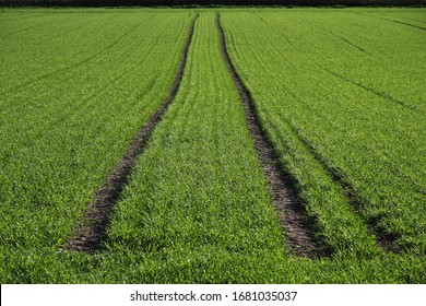 Tractor tracks, green seeded field near Biberach, Baden-Wuerttemberg, Germany, Europe