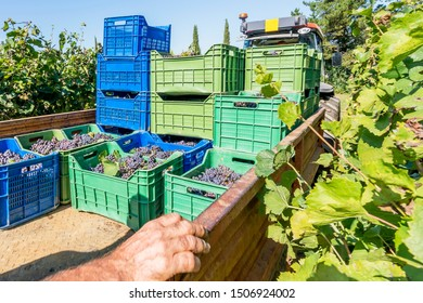 A tractor with a trailer loads the boxes full of black grapes to take to the winery for wine production during the harvest