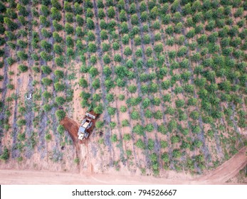 Tractor working next to a eucalyptus plantation view from above