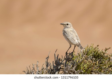 Tractrac Chat - Cercomela tractrac, beautiful perching bird from southern Africa, Namib desert, Walvis Bay, Namibia.