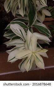 Tradescantia fluminensis variegata  White Cloud or Tradescantia Zebrina Creme, Wandering creeper, Spiderwort. Creamy white and green leaves, trailing vine stem, houseplant. At ornamental garden.