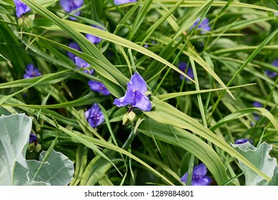 Tradescantia ohiensis, commonly known as bluejacket or Ohio spiderwort