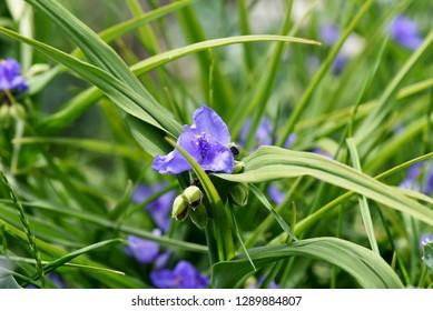 Tradescantia ohiensis, commonly known as bluejacket or Ohio spiderwort, scientific name Tradescantia virginiana