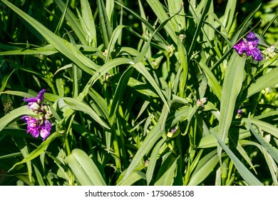Tradescantia ohiensis, commonly known as bluejacket or Ohio spiderwort in a garden