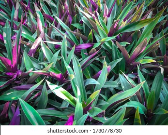 Tradescantia spathacea Sw, The base of the leaf is a sheath covering the trunk. Green top leaves Below the purple-red color, Plant for medicinal properties, Boat-lily, Oyster Lily, Oyster plant
