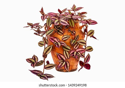 Tradescantia zebrina (also known as Zebrina pendula or the Inch Plant) in clay pot, isolated on a white background