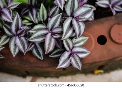 the Tradescantia zebrina in brick flowerpot of leaves is color purple