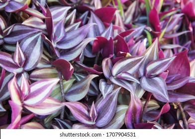 Tradescantia zebrina or spiderwort purple and green striped leaves background