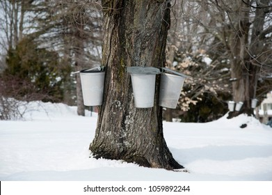Traditional aluminum maple buckets collect sap from an old maple tree to be used for making maple syrup and sugar in southern Maine.