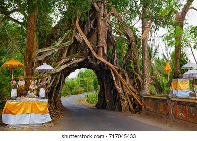 Traditional Balinese hindu temple in front of ancient evergreen ficus tree with road through natural arch in huge trunk.  Travel destination of Bali island, culture, art objects, of Indonesian people.