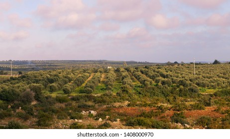 Traditional beautiful plantation of olive trees in Salento, Puglia regione, Italy, above view, sunset