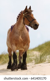Traditional belgium draft horse posing on a beach in the province of Zealand, The Netherlands
