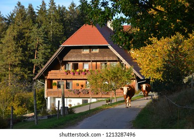 Traditional Black Forest Farmhouse: The Cattle is jogging from the Pasture to the  Cowshed in the Evening in Autumn, South Germany
