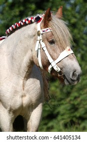 Traditional braided dutch draft horse in the Netherlands