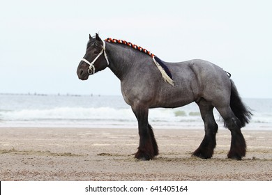 Traditional braided dutch draft horse at the beach in the Netherlands