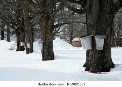 Traditional buckets collecting sap from old maple trees after a snowfall to make maple syrup in early spring in New England.