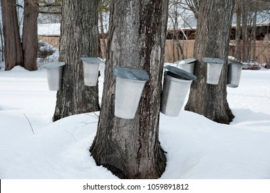 Traditional buckets are used to collect sap from maple trees by tapping the trees during early spring in New England  to make maple syrup and maple sugar.