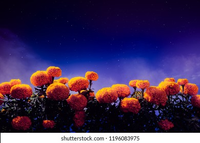 """Traditional cempasuchil ( marigold ) flowers used for traditional """"ofrenda de muertos"""" altars in Mexico at night"""