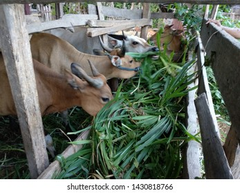Traditional Central Cattle Breeding Farms in Gorontalo,Indonesia