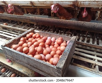 Traditional Chicken Egg Farm at Indonesia, layer chicken produce fresh egg and package no model