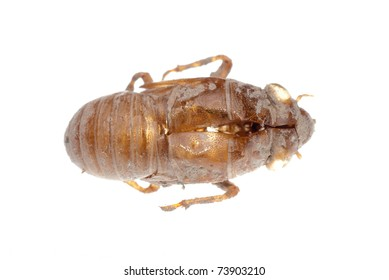 traditional Chinese medicine insect cicada molt