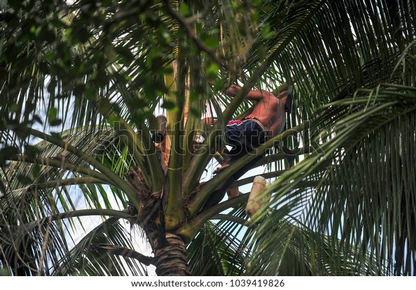 A traditional coconut picker wearing shot and a parang (machete) to collect a sugar palm ( coconut) in the countryside