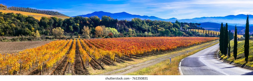 Traditional countryside and landscapes of beautiful Tuscany. Vineyards in golden colors and cypresses. Italy