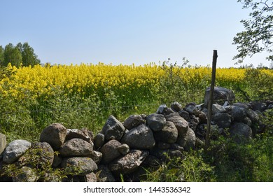 Traditional dry stone wall by a blossom rapeseed field at the swedish island Oland