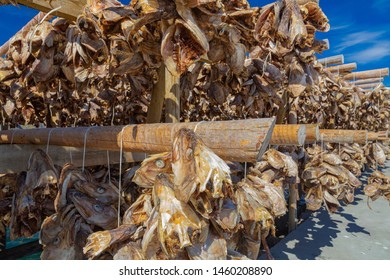 Traditional Drying cod heads drying on traditional wooden racks in Lofoten Islands  Fishing Village Hamnoy, Lofoten, Norway.  Heads of dried fish  - stockfish, Lofoten islands, Norway