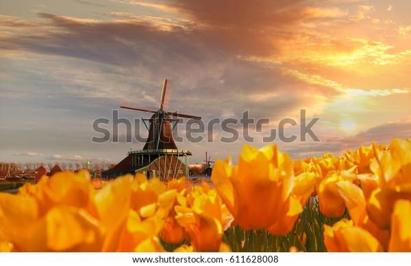オランダ、アムステルダム地域、ザーンセ・シャンスのチューリップを持つ伝統的なオランダ風車