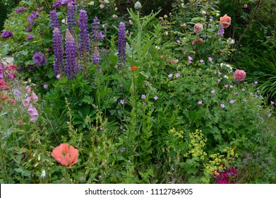 Traditional English country gardens in bloom. Borders and beds of flowers including lupins, roses, forget me nots, love in a mist, poppies and geraniums.