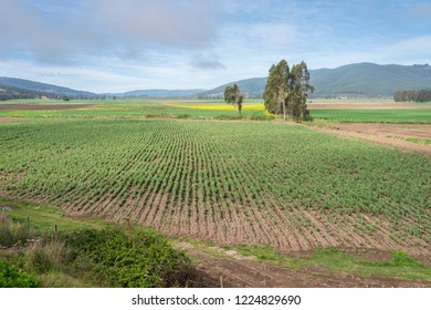 Traditional farmland cultivation at Valley of Mataquito river, central Chile an amazing place with awe wines and a agriculture based lifestyle. It is amazing to see the infinite cultivated rows, Chile