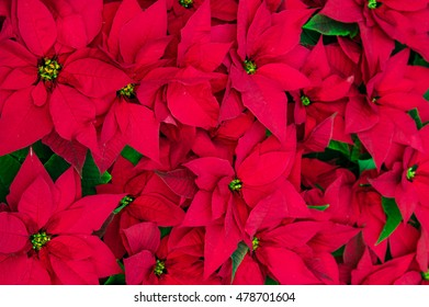 Traditional flowering Poinsettia plants in bloom for the Christmas holidays