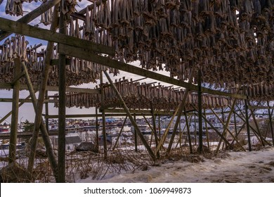 Traditional food. Cod fish drying in the cold air in the arctic Lofoten. Stockfish