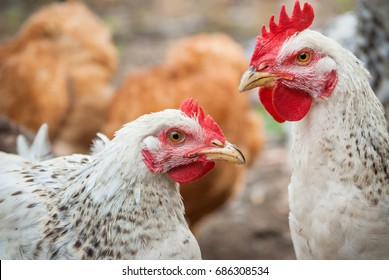 Traditional free range poultry farming