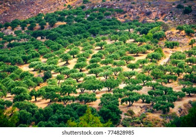 Traditional greek scenic view, beautiful olive grove in the day light on the mountain slope near Knossos Palace, Heraklion, Crete, Southern Greece