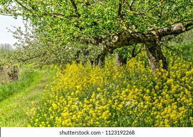 Traditional high-stem apple trees in the Betuwe region, The Netherlands, with rapeseed growing underneath