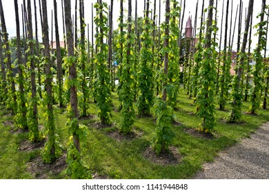 Traditional hop field in Zatec town. Czech Republic.